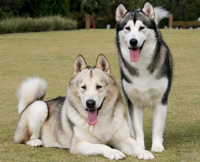 Apa Yang Memberi Makan Husky Yang Memberi Makan Anjing Dan Anjing